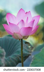 Asian Pink Lotus Flowers in the Pond on green background