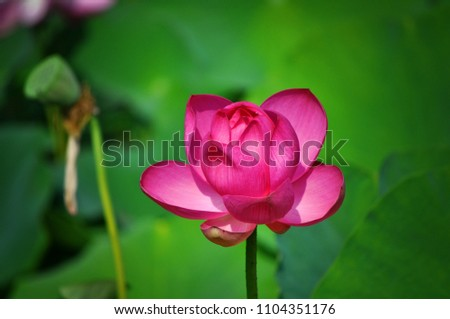 Asian pink lotus in a pond on a sunny day.