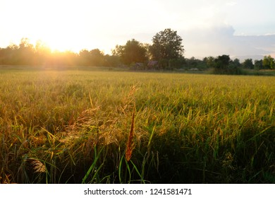 Asian Rice Farm field in twilight
