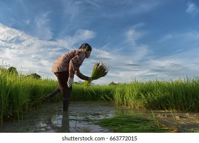 Asian rice farmers to kick off the ground, prepare for planting.