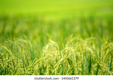Asian rice paddy field green farm. Harvest agriculture planting cultivation golden green rice terraces in organic farm with tropical natural sunrise. Eco agriculture and landscape concept.