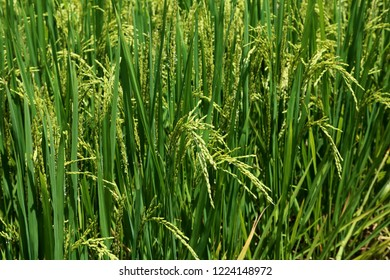 Asian rice plant in the early ripening phase in the fertile Punakha Valley of Bhutan