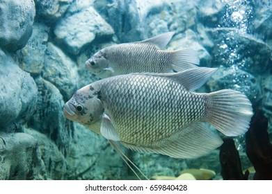 Asian river fish in  Tropical fish tank Giant gourami
