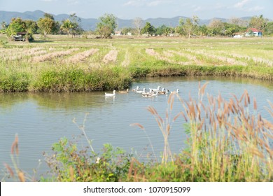 Asian rural landscape farm pond with flock of ducks.