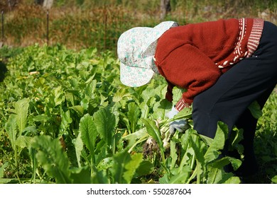 Asian senior cultivating vegetables with smile