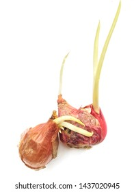Asian shallots, Indonesian shallots.  Indonesian shallot buds are ready to be planted in the garden