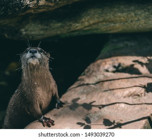 Asian short clawed otter is curious about the person with a camera and tries to suss out whether there will be food - Shutterstock ID 1493039270
