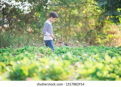Asian sibling boys harvesting strawberry organic in the farm