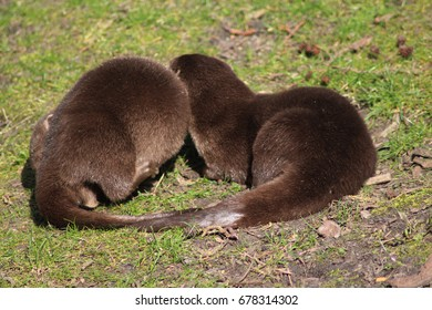The Asian small-clawed otter (Amblonyx cinereus)