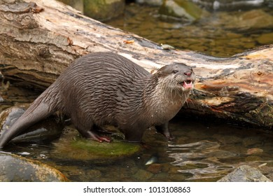 Asian Small-clawed Otter (Aonyx cinerea) - aka Oriental Small-clawed Otter. Captive animal.