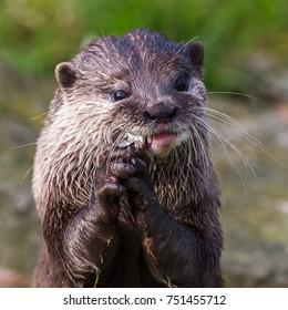 Otter Holding Hands Images Stock Photos Vectors Shutterstock