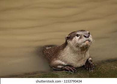 Asian small-clawed otters sitting up next a river, looking out curiously
