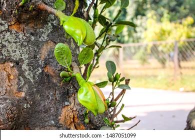 Asian summer fruits named  Jackfruit scientific name  Artocarpus heterophyllus. it is close up shot of small baby fresh Jackfruit. it is green when is in the early age. it is also Jackfruit flower.