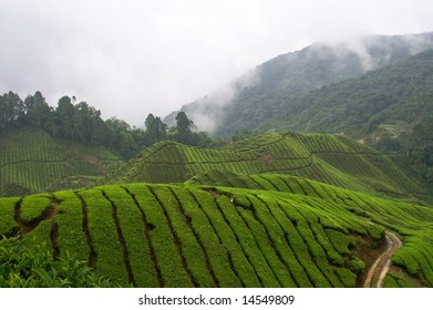 asian tea field between mountain range of a tropical rain forest with rain clouds in the back