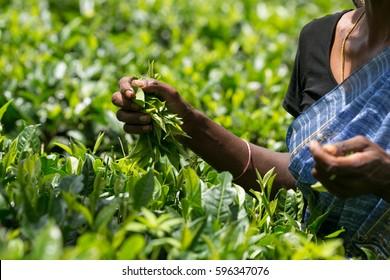 Asian tea picker holding in her hands freshly picked green tea leaves, Sri Lanka