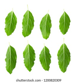 Asian Thai basil fragrant green herb isolated on white background.