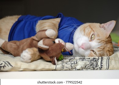 Asian Thai Yellow Cat in Blue Cloth is Lying on The Bed and Hugging Cat Doll