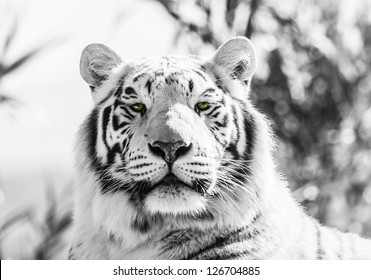 Asian Tiger Black and White  Image