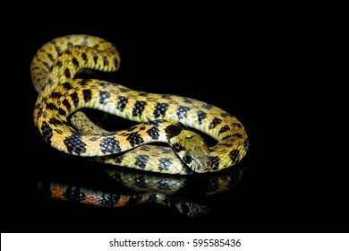 Asian tiger keelback (Rhabdophis tigrinus) isolated on black background with reflection