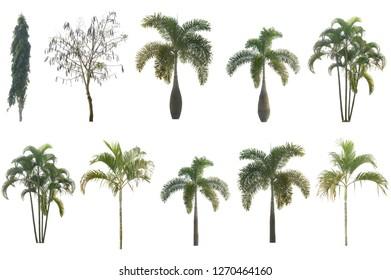 Asian tree on white backdrop.