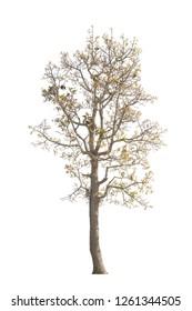 Asian tree on white backdrop.Autumn tree on white background.