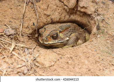 Asian tropical toad in Thailand