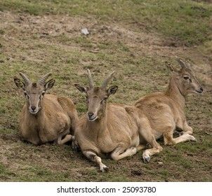 Asian Urial Party