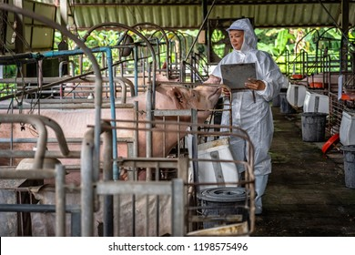 Asian veterinarian working and checking the big pig in hog farms, animal and pigs farm industry