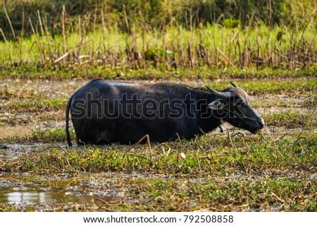 Asian Water Buffalo Local Marsh Stock Photo Edit Now 792508858