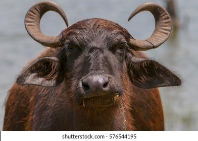 Asian water buffalo, wild water buffalo, carabao (Bubalus bubalis, Bubalus arnee), Yala National Park, Sri Lanka, Asia.