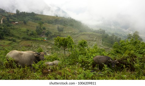 Asian water buffalos in rice terraced paddy fields at Sa Pa, Northern Vietnam