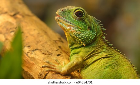 Asian water dragon (Physignathus cocincinus) in natural environment. Colourful tropical green lizard.