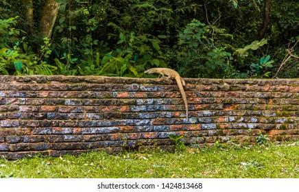 Asian water monitor lizzard climbing a wall, Sirigiya, Sri Lanka