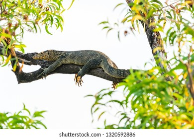 Asian water monitor lying down on a tree branch isolated on white background