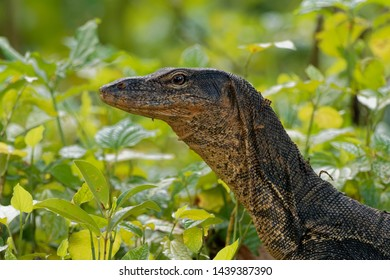 Asian water monitor - Varanus salvator also common water monitor, large varanid lizard native to South and Southeast Asia (kabaragoya, two-banded monitor, rice lizard, ring lizard, plain lizard.