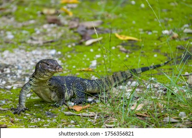 an Asian water monitor(Varanus salvator) is doing sun bath in Sungei Buloh Wetland Reserve Singapore. It is a large varanid lizard native to South and Southeast Asia.