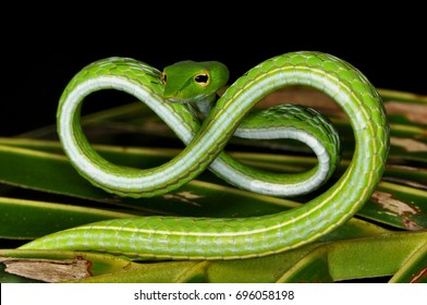 An Asian Whip or Vine Snake in a unique defense pose   wild animal photographed at night in Bali