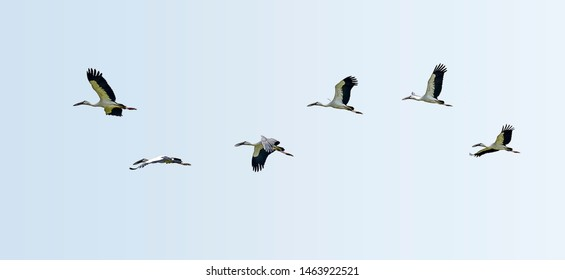 Asian White colored Open billed stork, Anastomus oscitans, India white stork, a large wading bird in the stork family Ciconiidae and generic for all herons and storks flying in flock.