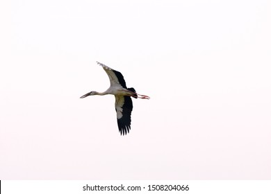 Asian White colored Open billed stork, Anastomus oscitans, India white stork, a large wading bird in the stork family Ciconiidae.Flying straight neck is different from heron.