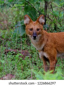 Asian Wild Dog or Dhole Portrait in Kanha National Park of India