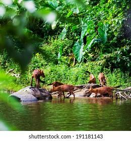 Asian wild dog family