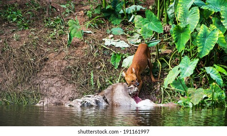 Asian wild dogs eating a deer carcass