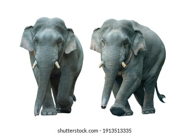 Asian wild elephant isolated on white background