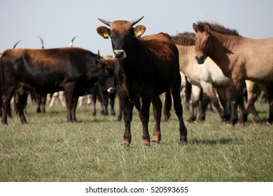 Asian wild horses and bison in the field in Hungary