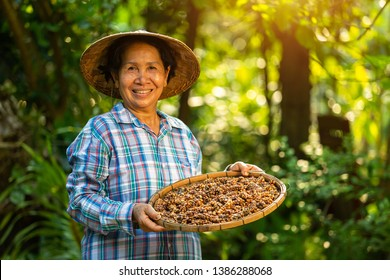 Asian Woman farmer holds the Kopi luwak or civet coffee with a happy smile, Kopi luwak or civet coffee on the coffee leaf.