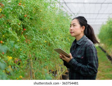 Asian woman farmer using digital tablet in organic greenhouse tomato plants - young female working woman successful in small business agriculture farming