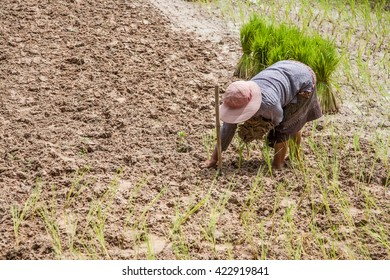 asian woman growing rice in a farm