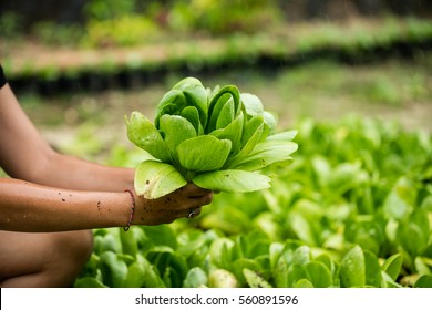 Asian woman holding Pok Choy in hands, Bok Choi field in the background.