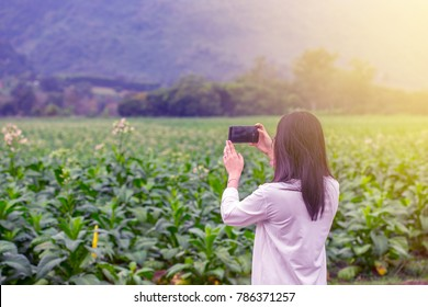 The Asian woman in light blue shirt is taking  taking photo by mobile phone in the green tobacco field at the outside with flare.