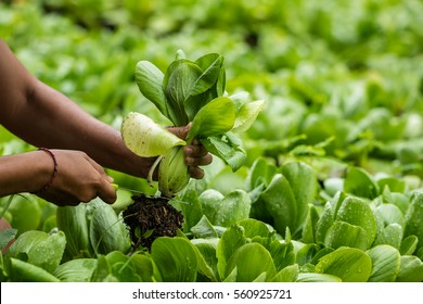 Asian woman picking Pok Choy from Farm. Bok Choi in the field.